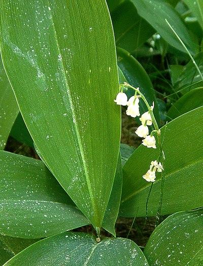lillies-4