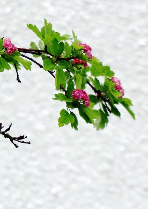rose-tree-5
