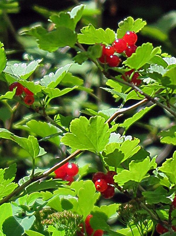 red-berries-1