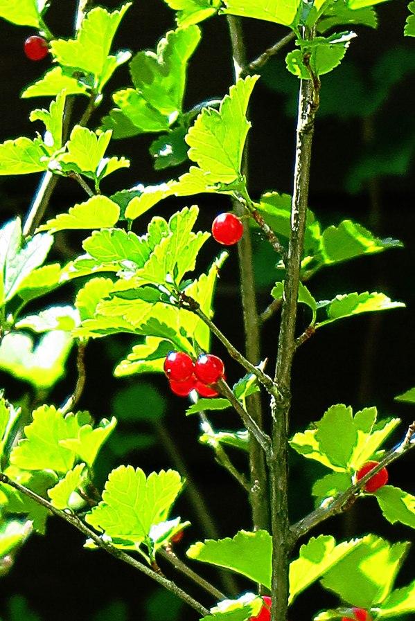 red-berries-3