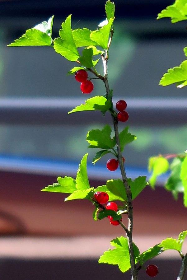 red-berries-4