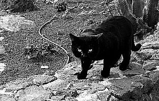 black-cat-bw