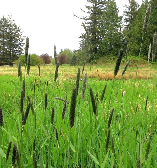 meadowfoxtail